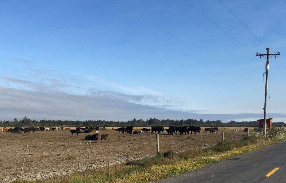 The Arcata Bottom is a fragrant place. Hey, cows! - JENNIFER SAVAGE
