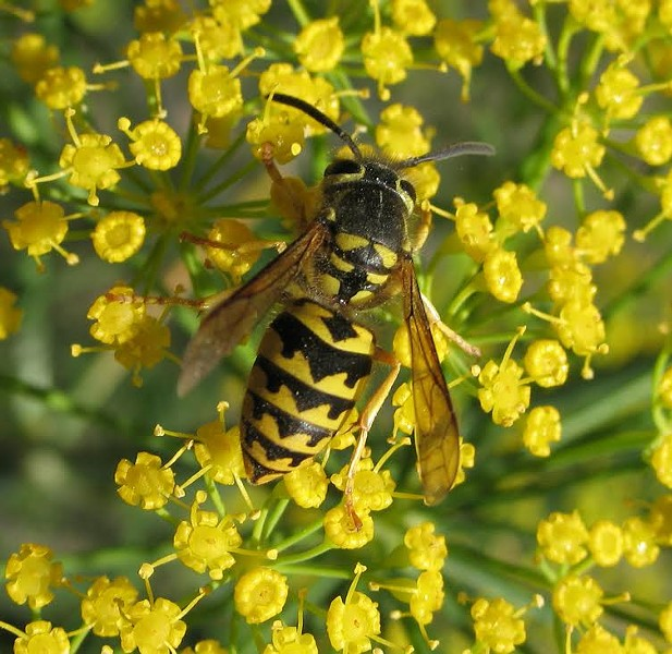 The can't-miss-it markings of a yellow jacket. - ANTHONY WESTKAMPER