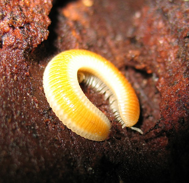 Know this guy? This flat millipede is as yet unidentified. - ANTHONY WESTKAMPER
