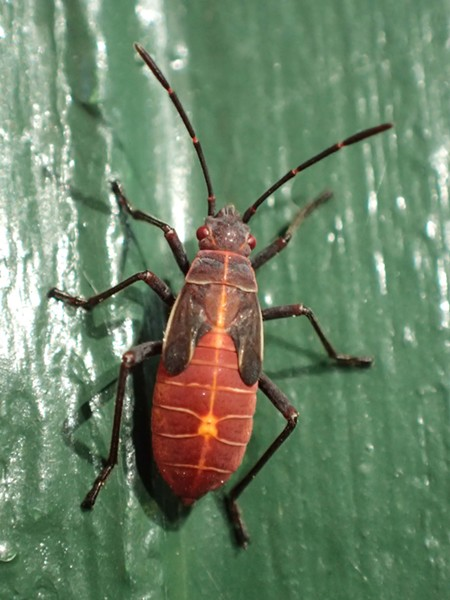 Juvenile box elder bug. - ANTHONY WESTKAMPER