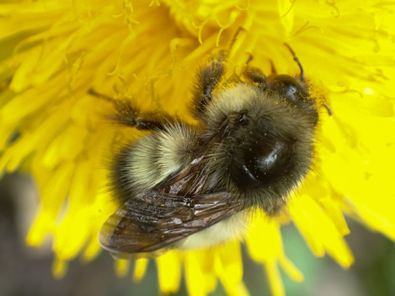 A bumble bee investigates a dandelion. - ANTHONY WESTKAMPER
