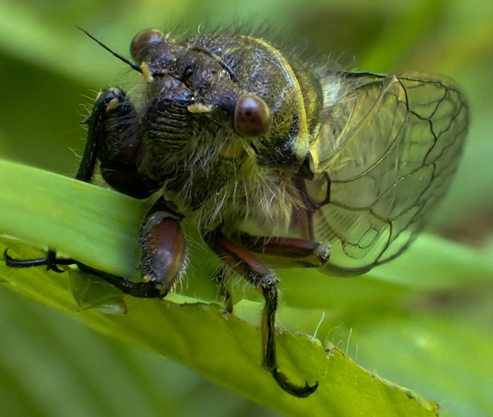 The male cicada's song is meant to woo the ladies — fast.