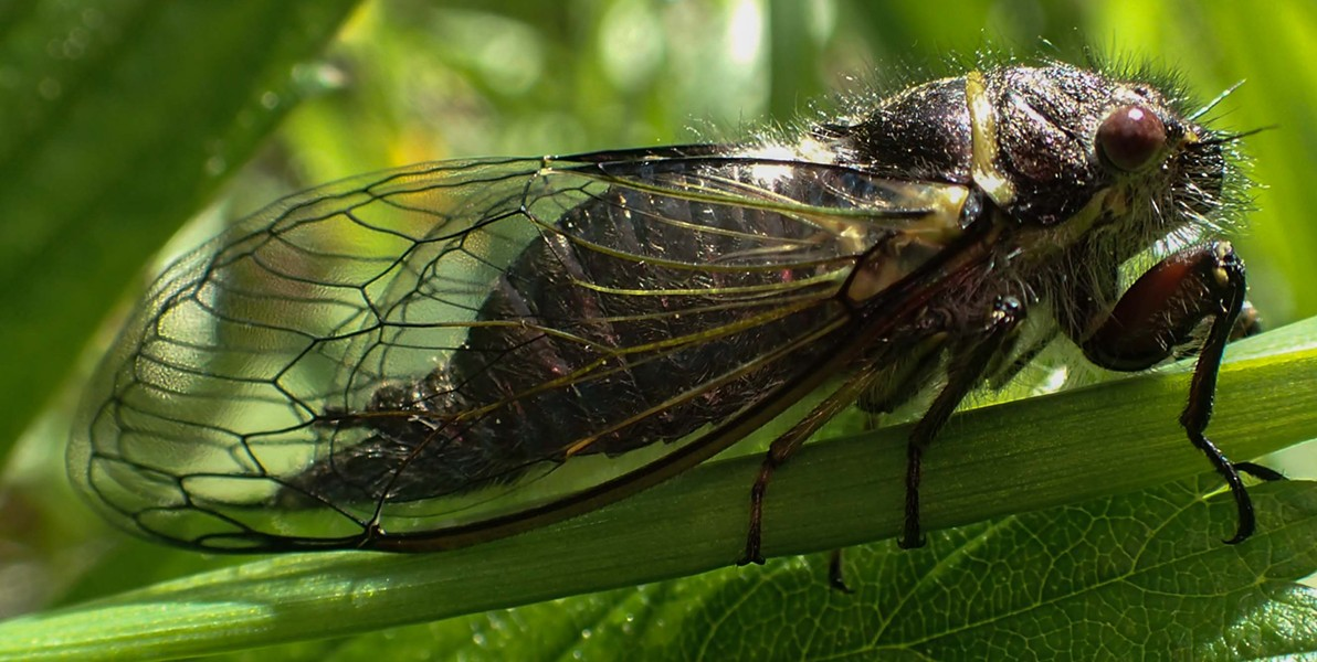 Cicada Okanagana Vanduzeei, a little early for the party. - ANTHONY WESTKAMPER