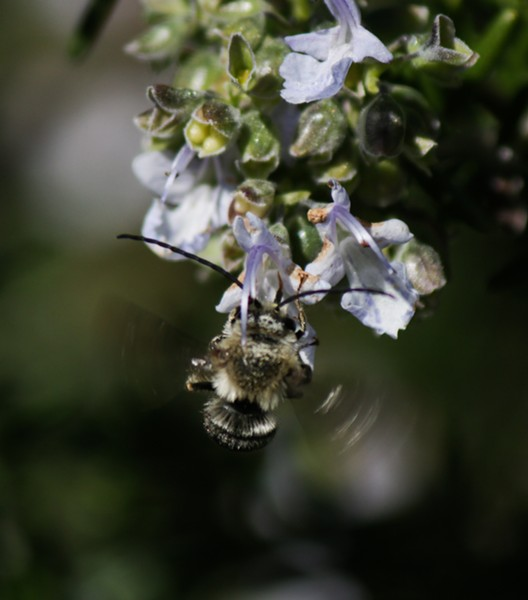 A male long-horned bee on a rosemary bush. - ANTHONY WESTKAMPER
