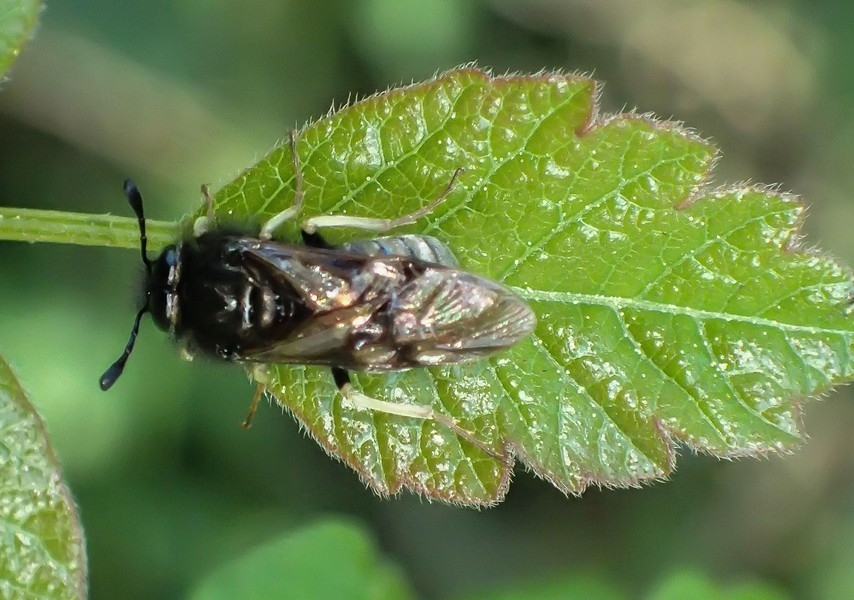 An adult sawfly, which may or may not be the species bedeviling my plants. - ANTHONY WESTKAMPER