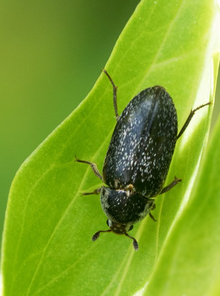 A carrion beetle lured onto the lily by the rotting meat smell. - ANTHONY WESTKAMPER