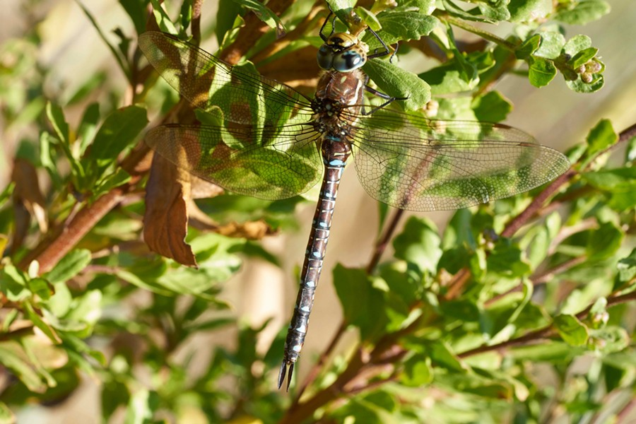 A darner in the leaves. - ANTHONY WESTKAMPER