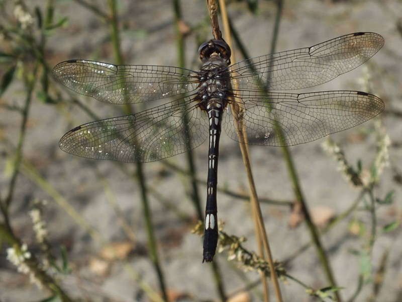 A pale-faced clubskimmer. - ANTHONY WESTKAMPER