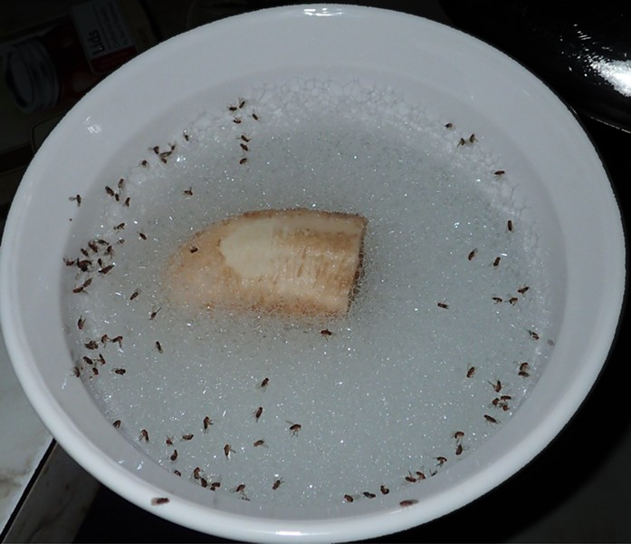The accumulation of fruit flies in the trap after about 1 hour. - ANTHONY WESTKAMPER