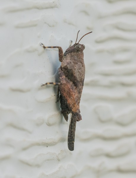A 1/2-inch grouse locust on my garage door. - ANTHONY WESTKAMPER