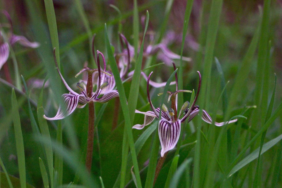 Fetid adder's tongue, aka brownies. - ANTHONY WESTKAMPER