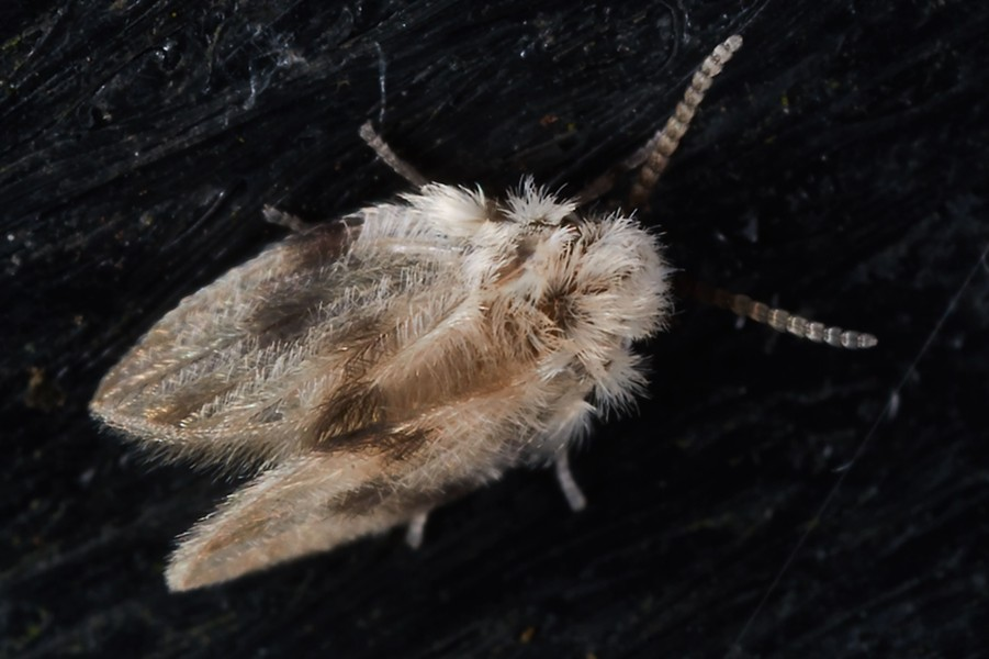 Moth fly, about 2 or 3 millimeters long. - ANTHONY WESTKAMPER
