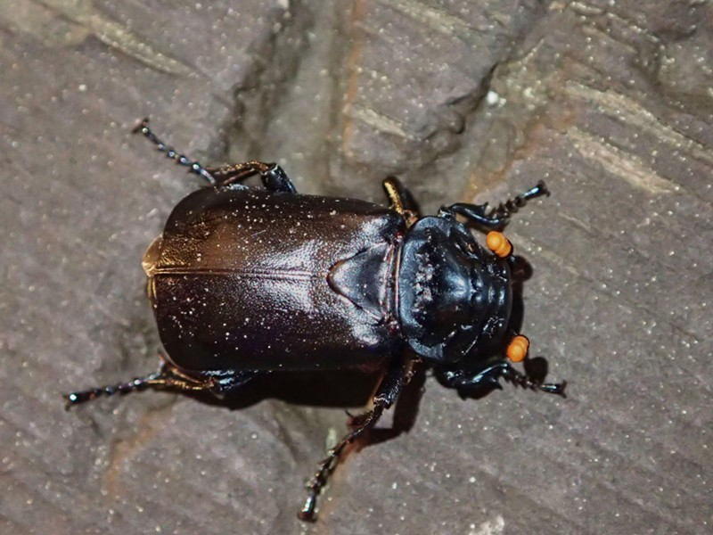 Black burying beetle showing what it looks like without a coating of mites. You can tell its species by its distinctive orange tipped antennae. - ANTHONY WESTKAMPER