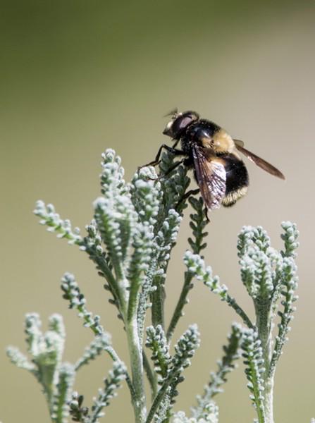 Volucella bombylans a bumblebee mimic. - ANTHONY WESTKAMPER