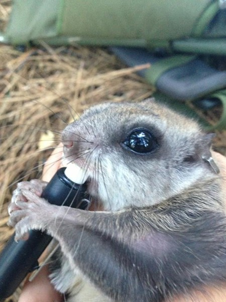 Humboldt's flying squirrel gnawing a delicious pen cap (not its natural diet). - PHOTO BY NATHAN ALEXANDER