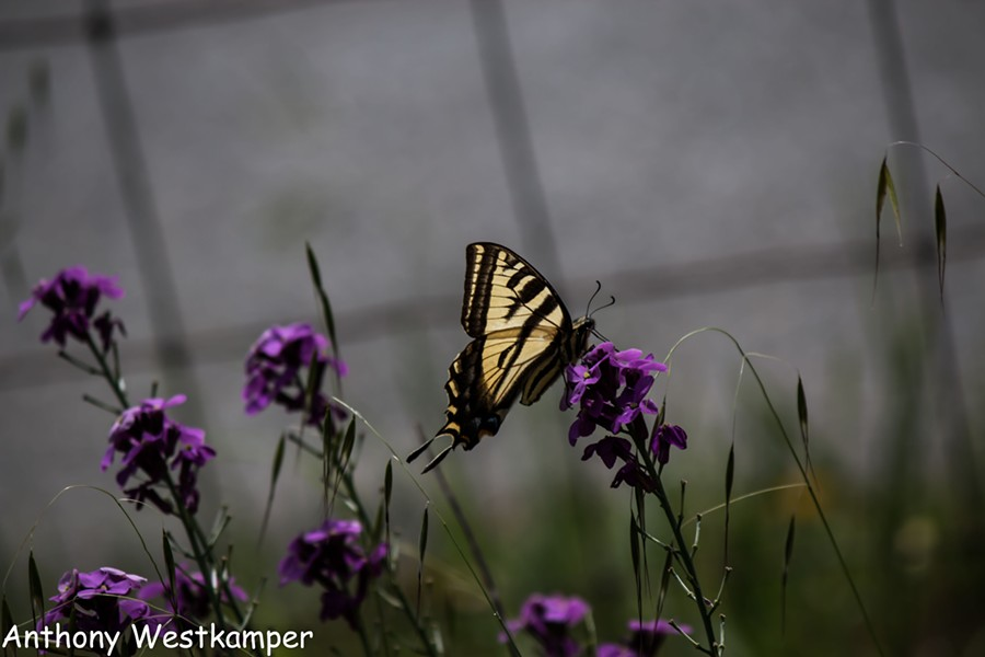 A western swallowtail on a wallflower. - ANTHONY WESTKAMPER