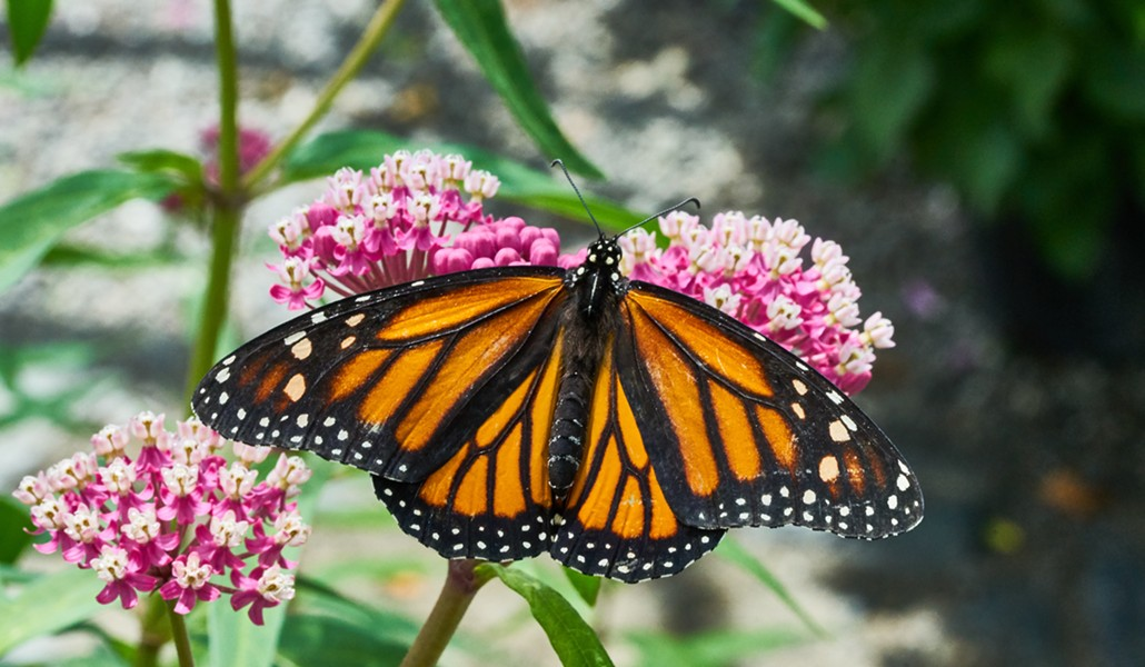 Monarch nectaring on a plant. - ANTHONY WESTKAMPER