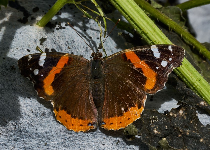 Red admiral butterfly - ANTHONY WESTKMPER
