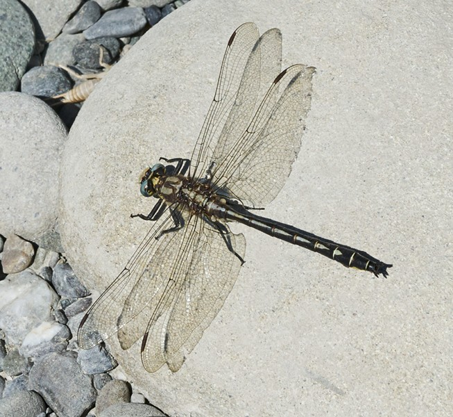 A Pacific Clubtail. - ANTHONY WESTKAMPER