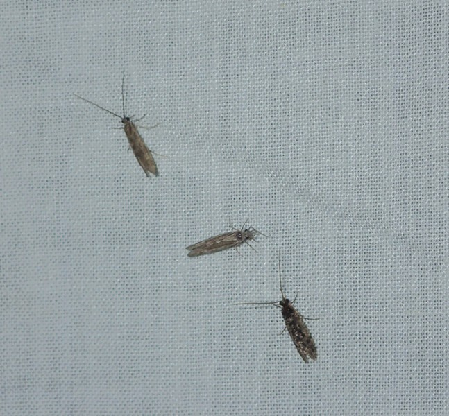 Three small caddisflies land on the light trap. - ANTHONY WESTKAMPER