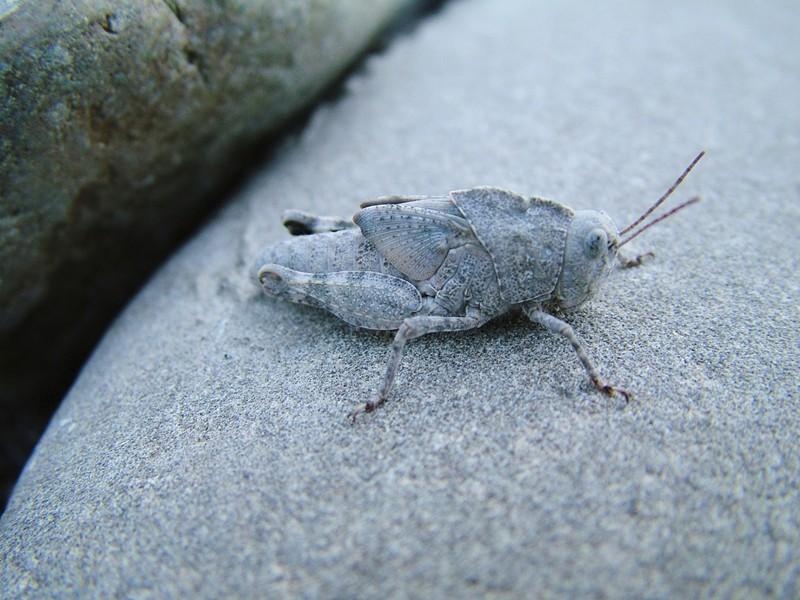 Juvenile grasshopper showing immature wings. - ANTHONY WESTKAMPER