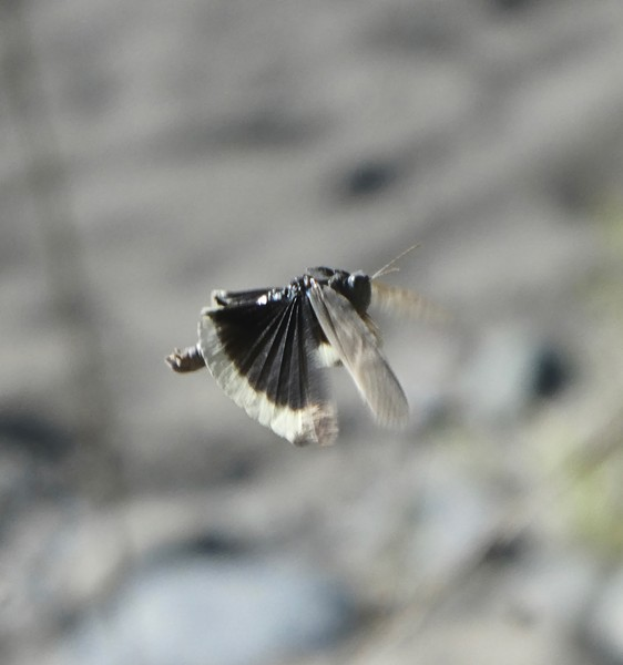 A mourning cloak grasshopper hovering and showing the fan folds in its hind wings. - ANTHONY WESTKAMPER