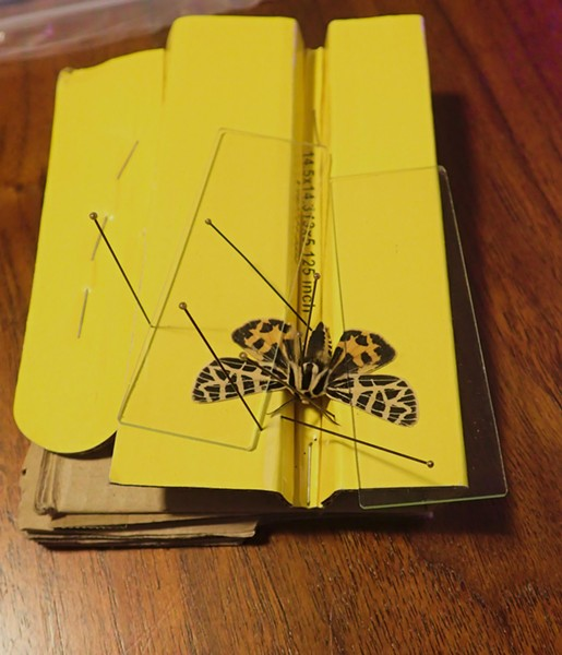 Tiger moth pinned with glass microscope slides hold wings in place. - ANTHONY WESTKAMPER
