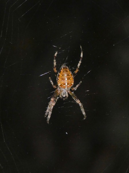 Cross orbweaver, note white spots making an inverted cross on the back of her abdomen. Its body is about 3/4 inch long. - ANTHONY WESTKAMPER