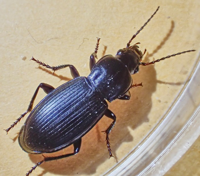 A local ground beetle. - PHOTO BY ANTHONY WESTKAMPER