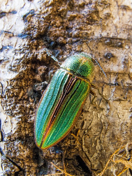 Golden buprestid beetle (Buprestid aurulenta). - PHOTO BY ANTHONY WESTKAMPER
