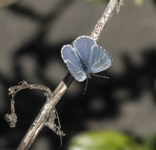 An echo blue showing off. - PHOTO BY ANTHONY WESTKAMPER