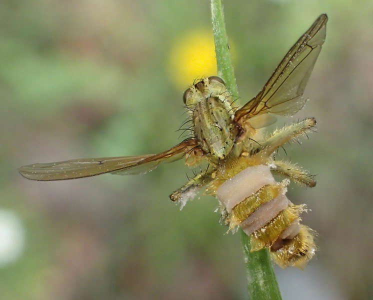 Dung fly, its nervous system invaded by fungus, locks up and dies. Look to tall blades of grass. - PHOTO BY ANTHONY WESTKAMPER