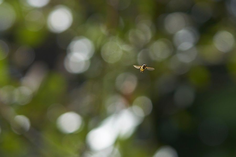 Hover fly doing its thing. - PHOTO BY ANTHONY WESTKAMPER
