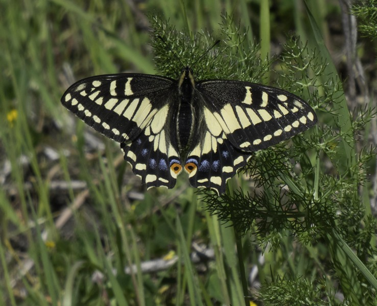 """Female anise swallowtail. Note: Characteristic """"swallowtails"""" are missing, most likely lost to a bird. - PHOTO BY ANTHONY WESTKAMPER"""