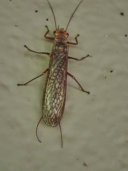 Giant Stonefly on side or public restroom at rest stop. - PHOTO BY ANTHONY WESTKAMPER