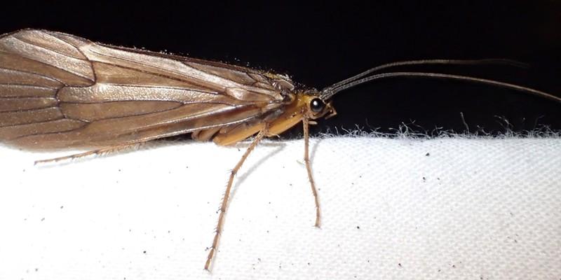 A rather large adult specimen at a light trap.