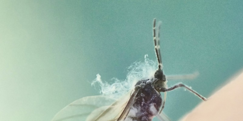 """Wooly Aphid on my fingertip.  the """"Smoke"""" over its head is actually a cloud of fine filaments."""