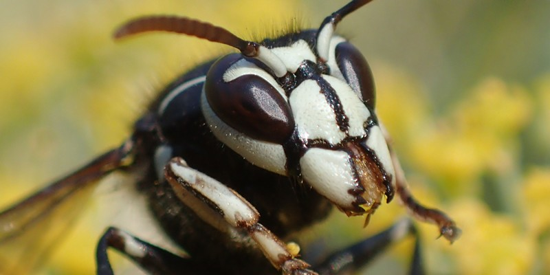 Bald faced hornet closeup and personal.