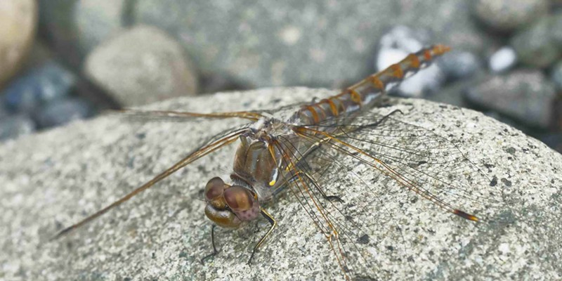 Since I started reporting them six years ago, variegated meadowhawks have been reported along coastal rivers as far away as Bodega during the winter.