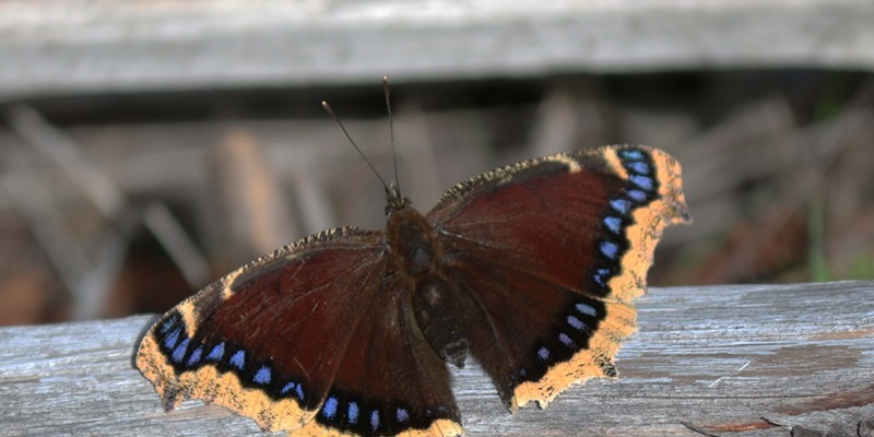 In England, the mourning cloak, known as the Camberwell beauty, emerges from its winter hiding place to frolic on warm winter days.