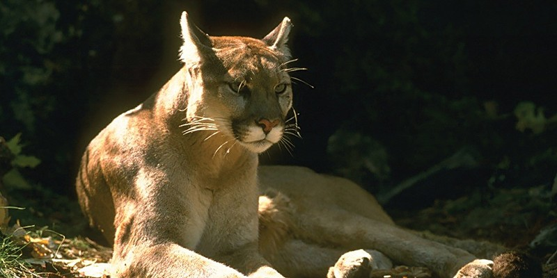 A mountain lion, like this one, was protecting her cubs, not stalking a runner who came along the family in Provo, Utah.