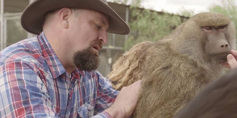 John Griffith grooms a female baboon in an episode of Wild Jobs.