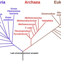 Phylogenic tree of all life on Earth, as proposed by Carl Woese, showing how bacteria, archaea and eukaryotes originated with the last universal common ancestor (LUCA), the black trunk at the bottom of the tree. This may be oversimplified; for instance, eurkaryotes may have resulted from the union of bacteria and archaea.