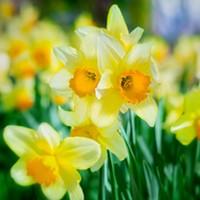 44th Annual Daffodil Show