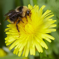 A bumblebee on a dandelion.