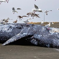 A 40-foot gray whale washed up at Long Beach, Washington.