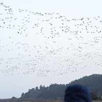 Migrating geese take to the sky early Sunday morning from the Humboldt Bay National Wildlife Refuge.
