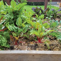 From left to right, transplanted Swiss chard, mustard greens and kale.