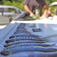Dead juvenile salmon pulled from the Klamath River.