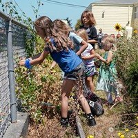 On a sunny Friday morning, kids harvest snap peas, blackberries and strawberries      in the community garden